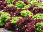 cultivo-lechuga-roja-ecuador